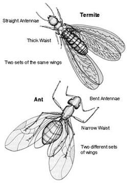 img-ant-termite